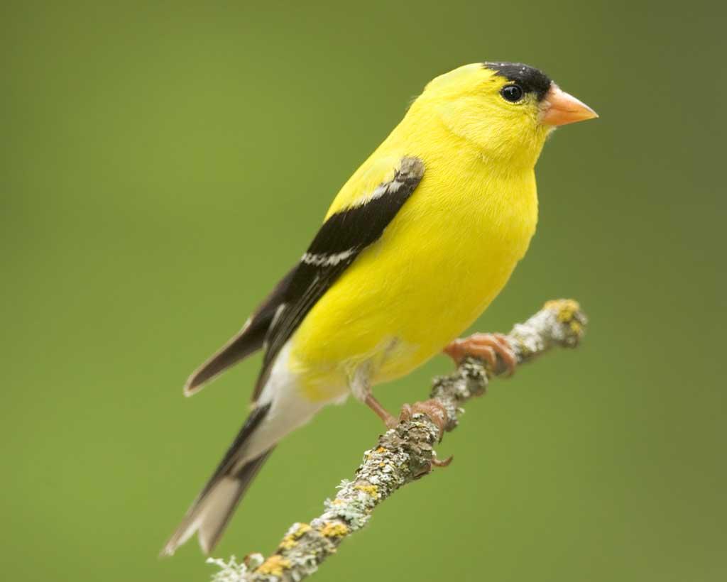 American Goldfinch, Best Garden, Home And DIY Tips