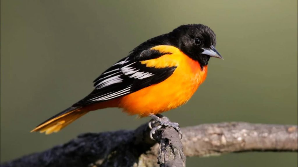 Baltimore Oriole 1024x576, Best Garden, Home And DIY Tips