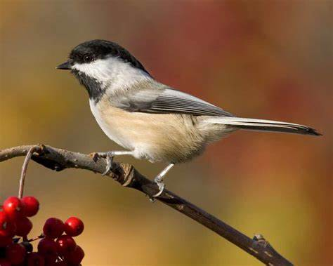 Black Capped Chickadee, Best Garden, Home And DIY Tips