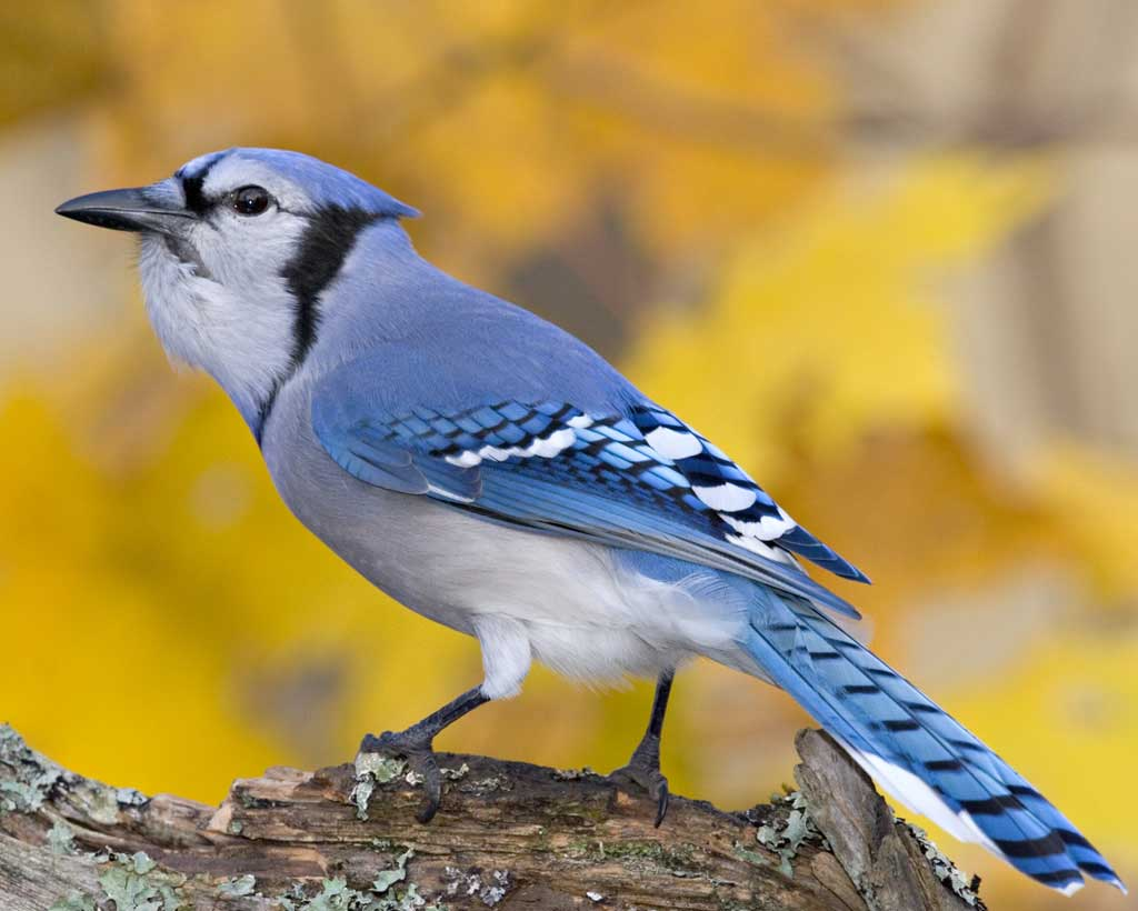 Blue Jay, Best Garden, Home And DIY Tips