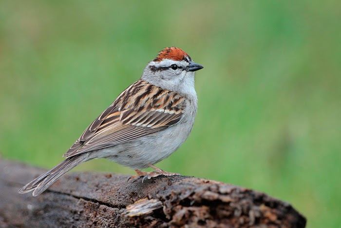 Chipping Sparrow, Best Garden, Home And DIY Tips