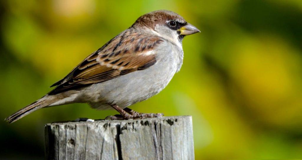 House Sparrow 1024x542, Best Garden, Home And DIY Tips