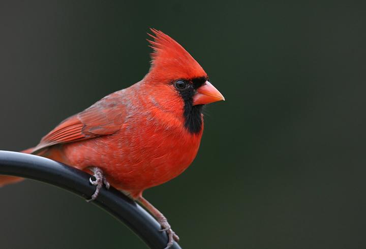 Northern Cardinals, Best Garden, Home And DIY Tips