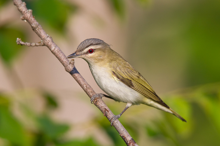 Vireo With Red Eyes, Best Garden, Home And DIY Tips