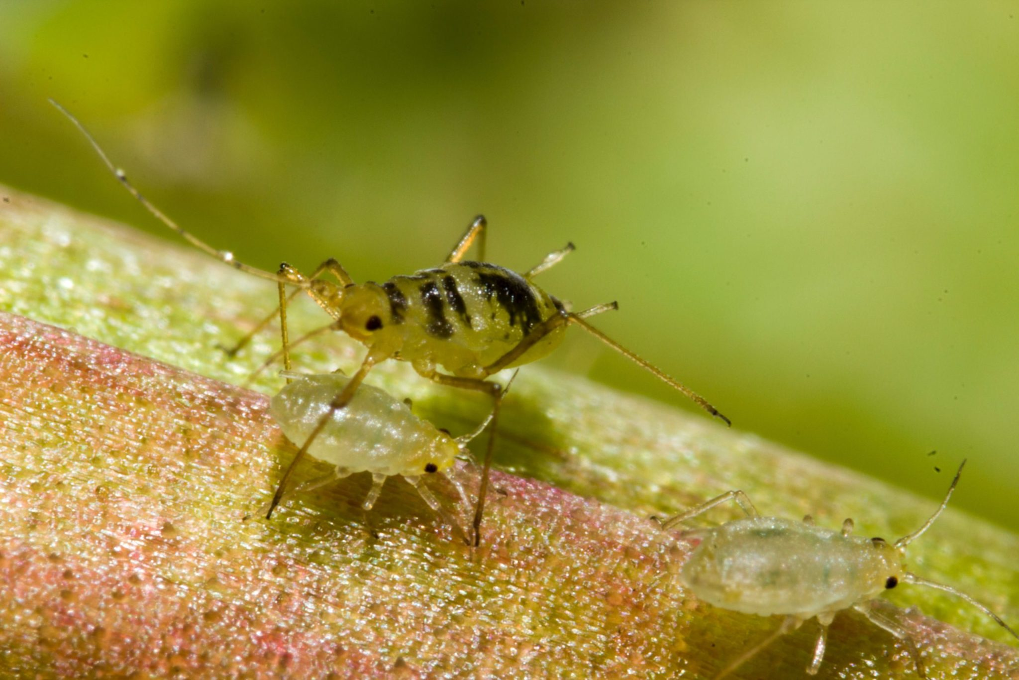 aphids, Fighting aphids: tips for home remedies and natural pest control, Best Garden, Home And DIY Tips