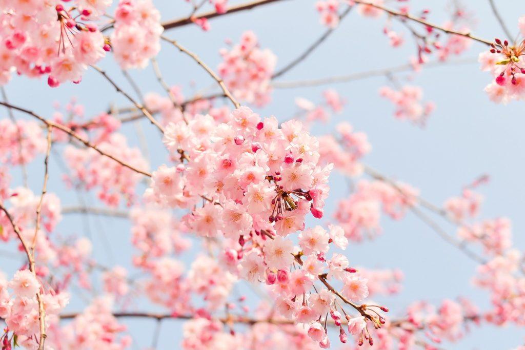 Cherry Tree 1225186 1920 1024x683, Best Garden, Home And DIY Tips