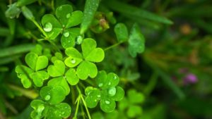 , Rampant weeds: How to beat clover in the lawn, Best Garden, Home And DIY Tips