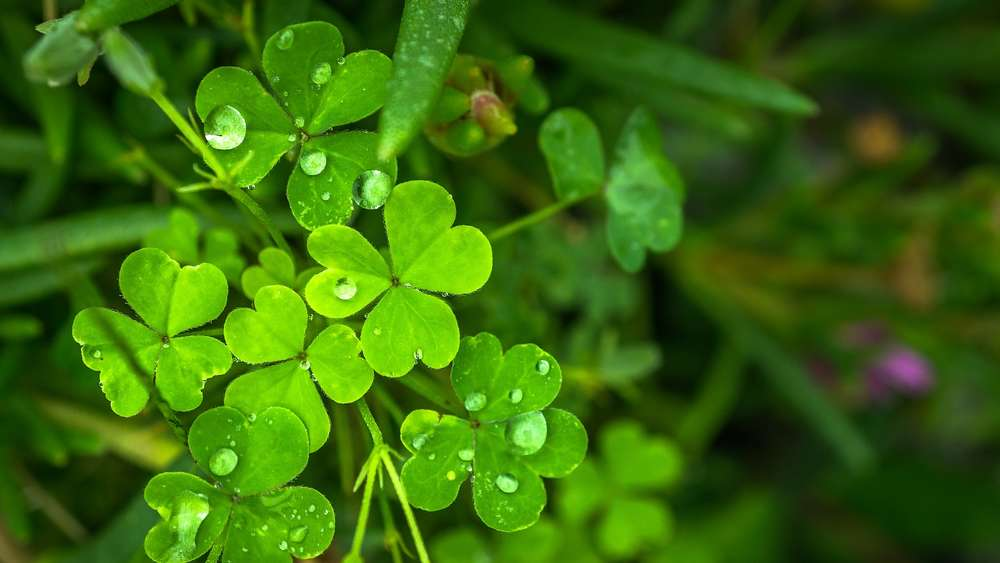 Rampant weeds: How to beat clover in the lawn