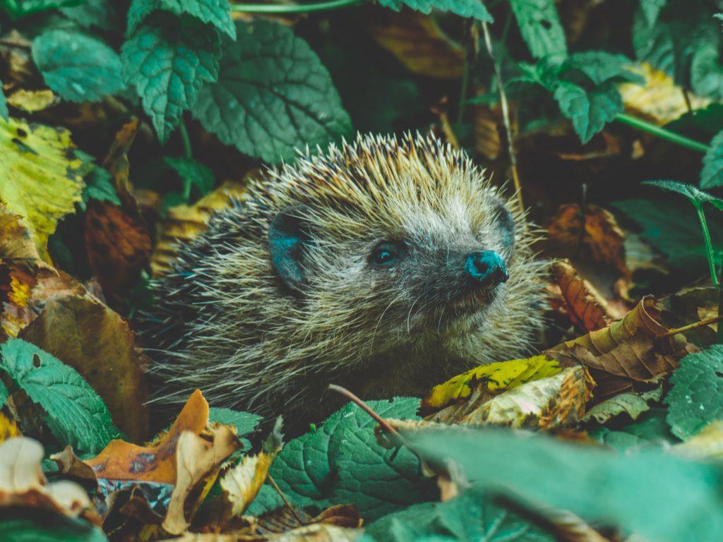 Hedgehogs 1024x768, Best Garden, Home And DIY Tips