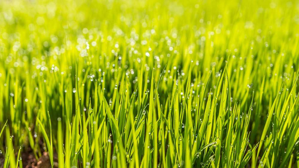 After sowing: How long does it take for the lawn to grow?