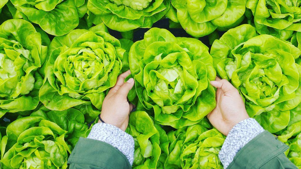Lettuce 1024x576, Best Garden, Home And DIY Tips