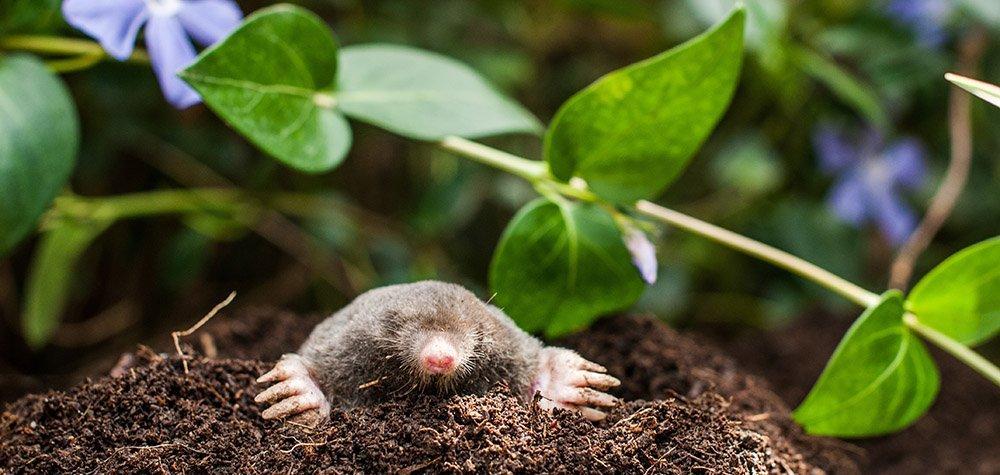 Mole 3, Best Garden, Home And DIY Tips