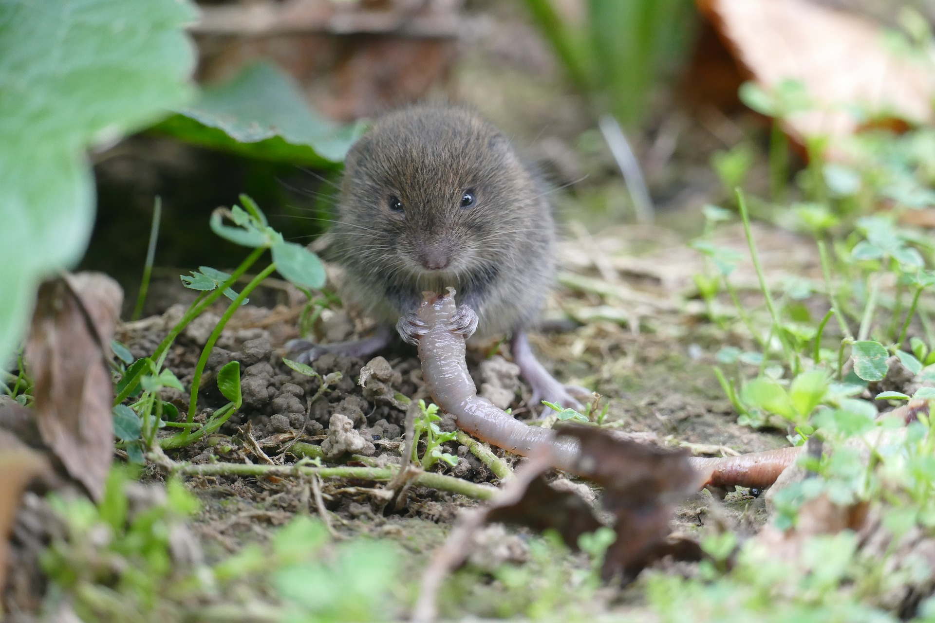 vole, Drive vole out of the garden, Best Garden, Home And DIY Tips