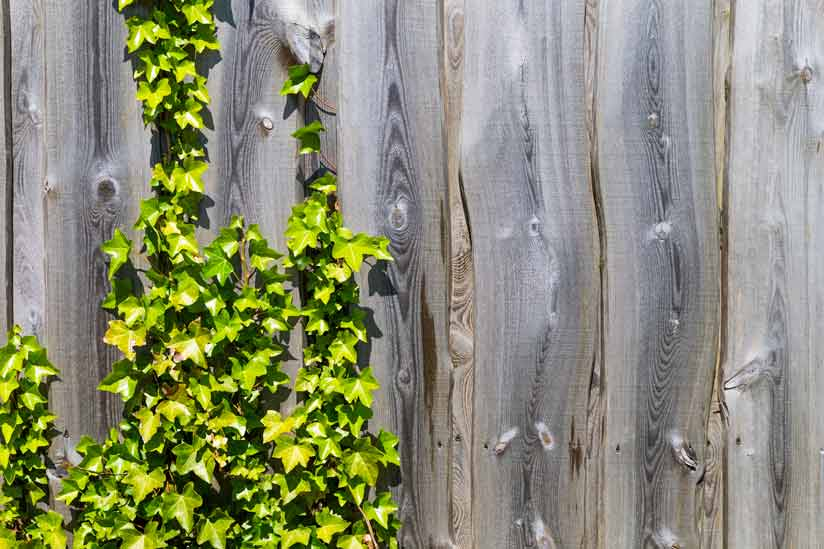 Read more about the article Fence climbing plants: This is how to green and choose the right plants