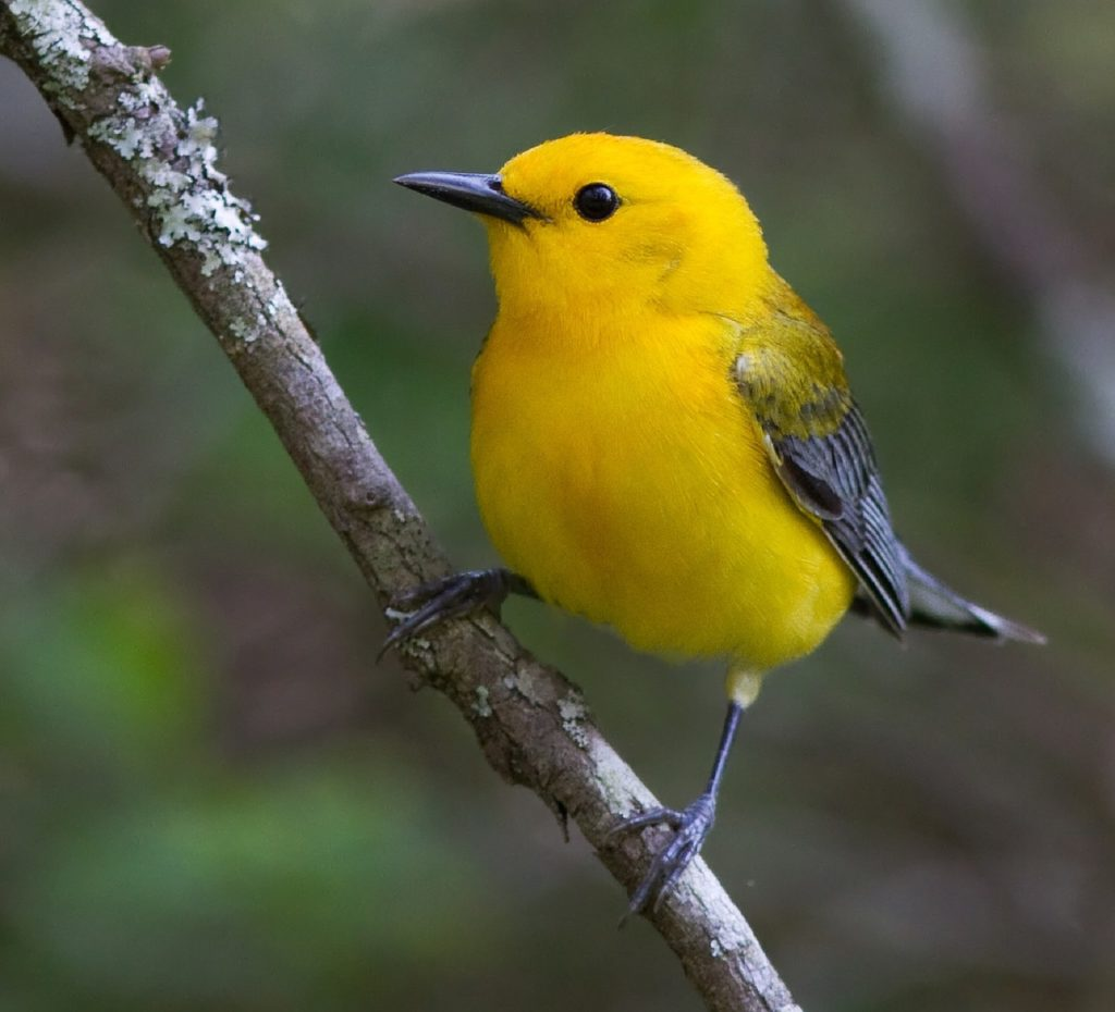 Prothonotary Warbler 947337 1280 1024x930, Best Garden, Home And DIY Tips