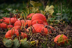 pumpkin planting, Planting a pumpkin – growing a pumpkin with pumpkin seeds – sowing the pumpkins yourself, Best Garden, Home And DIY Tips