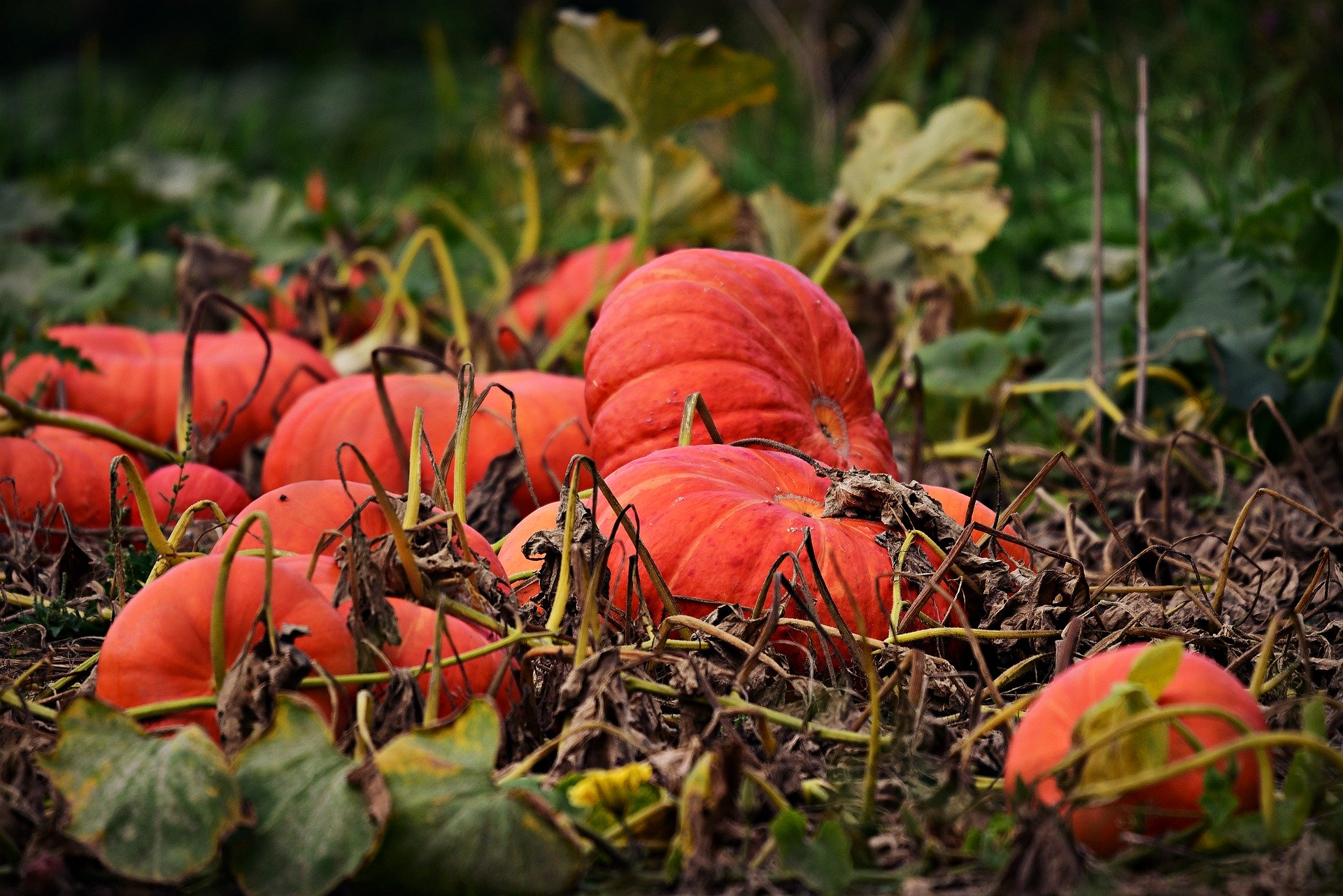 pumpkin planting, Planting a pumpkin – growing a pumpkin with pumpkin seeds – sowing the pumpkins yourself, Best Garden, Home And DIY Tips