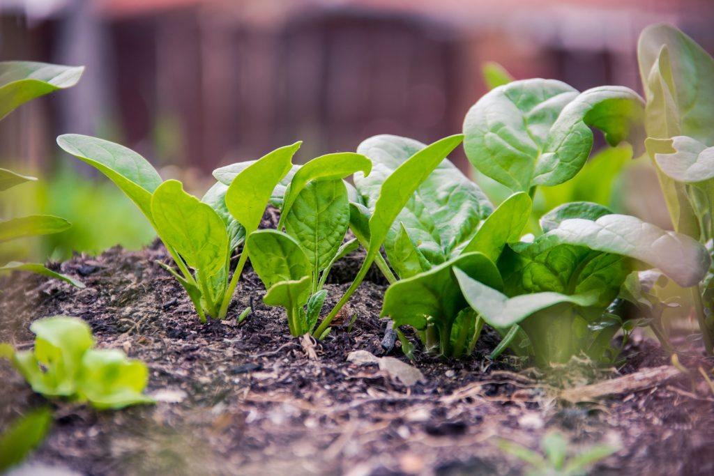 Spinach 1024x683, Best Garden, Home And DIY Tips