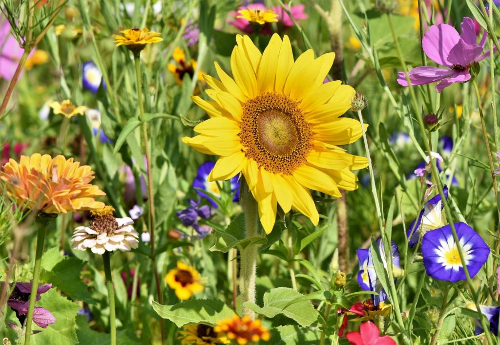 Sunflower 3696960 1920 1024x706, Best Garden, Home And DIY Tips