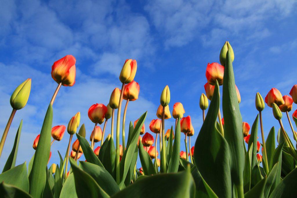 Tulips 21598 1920 1024x682, Best Garden, Home And DIY Tips