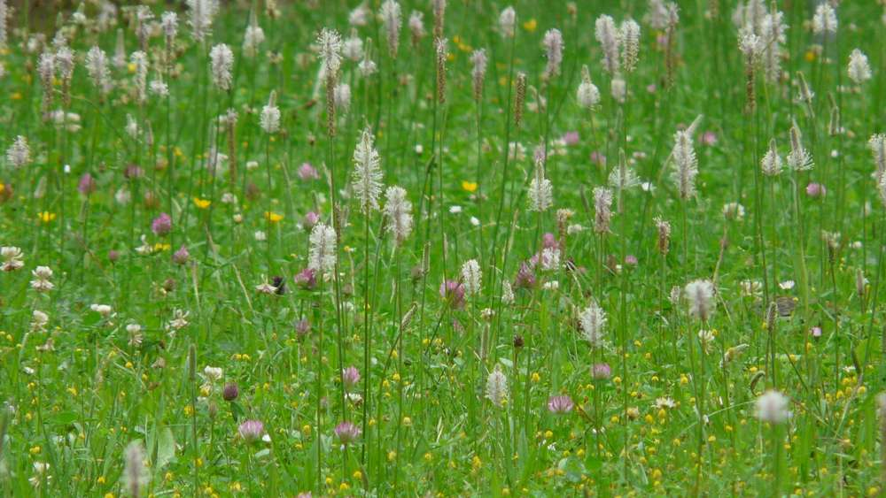 Weed removal in the lawn: this is how it works with and without chemicals
