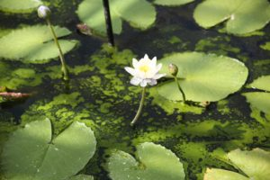 algae, Fight algae in the pond without chemicals, Best Garden, Home And DIY Tips