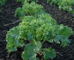 kale, Plant kale and grow it successfully, Best Garden, Home And DIY Tips