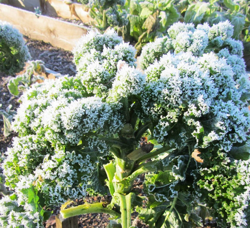 Kale 6, Best Garden, Home And DIY Tips