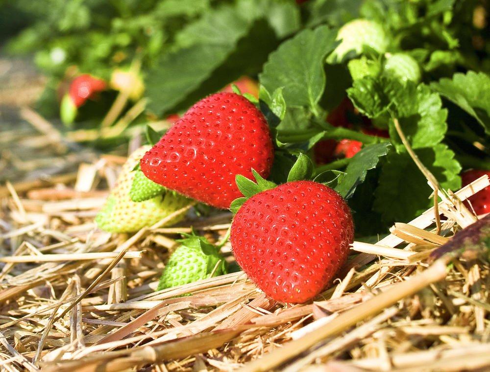 Strawberries 4, Best Garden, Home And DIY Tips