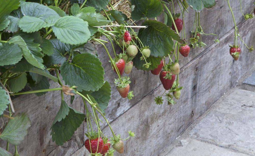Strawberries 5, Best Garden, Home And DIY Tips