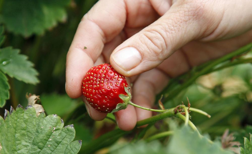 Strawberries 6, Best Garden, Home And DIY Tips