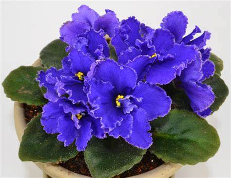 African Violets, Best Garden, Home And DIY Tips