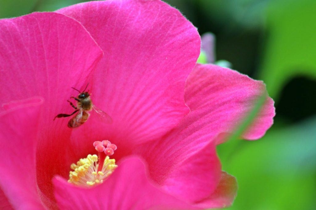 Bee Friendly Shrubs 1, Best Garden, Home And DIY Tips