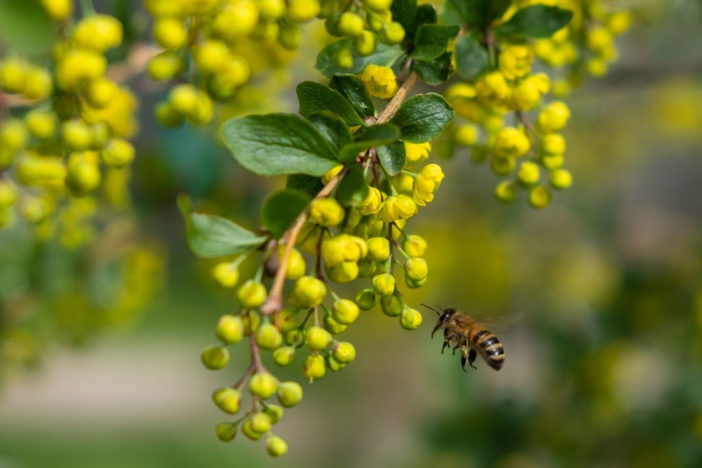 Bee Friendly Shrubs 6, Best Garden, Home And DIY Tips