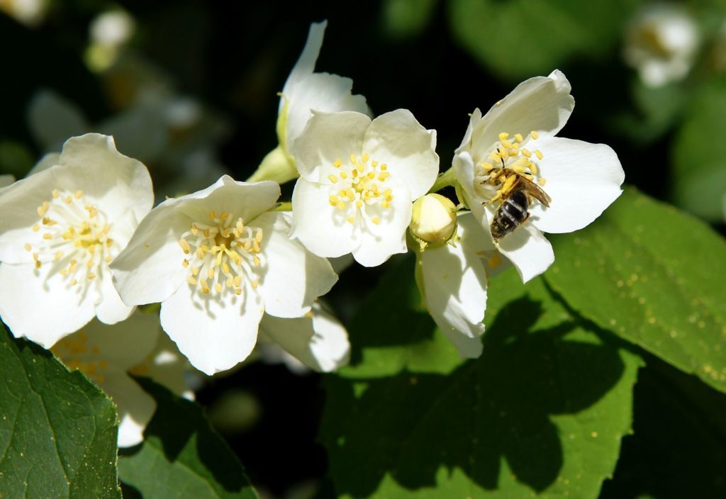 Bee Friendly Shrubs 9, Best Garden, Home And DIY Tips