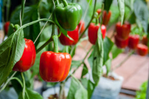 , Growing paprika / chilli, Best Garden, Home And DIY Tips