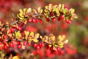 , Flowering hedges: 12 hardy hedge plants with flowers, Best Garden, Home And DIY Tips