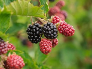 , BLACKBERRIES IN THE GARDEN – HOW TO DO IT, Best Garden, Home And DIY Tips
