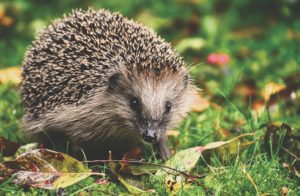 , Robot lawnmowers – danger to hedgehogs and how to protect them, Best Garden, Home And DIY Tips