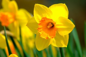 , Properly caring for, cutting and planting daffodils, Best Garden, Home And DIY Tips