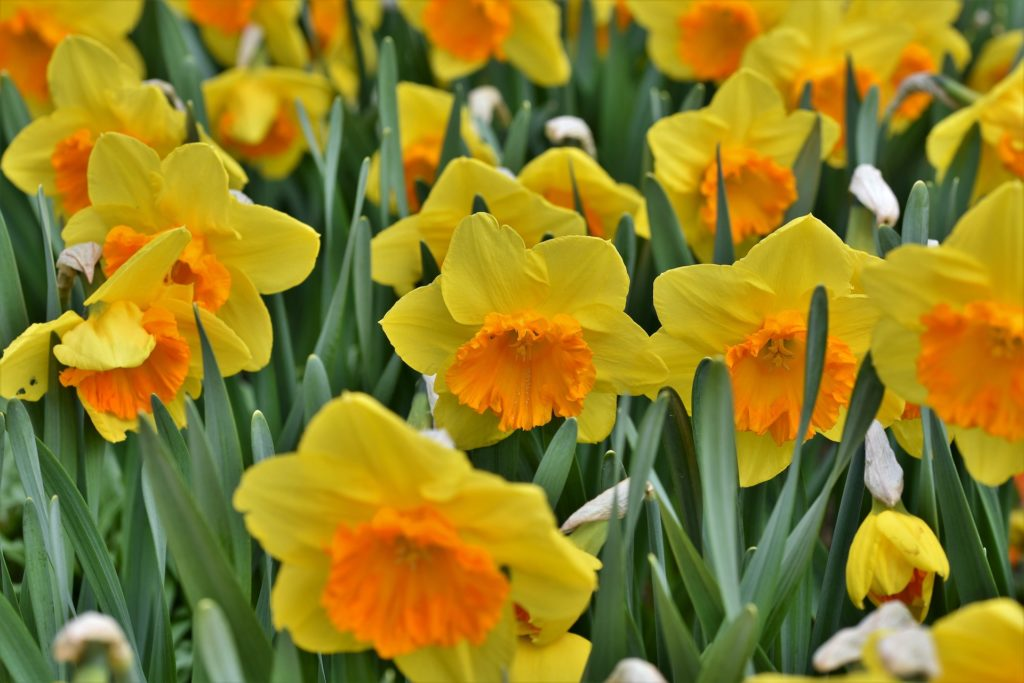 Narcissus 4121336 1920 1024x683, Best Garden, Home And DIY Tips