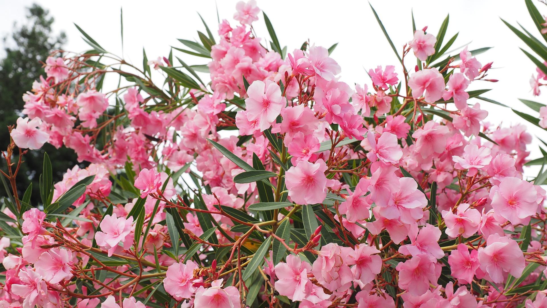 , Oleander, Best Garden, Home And DIY Tips
