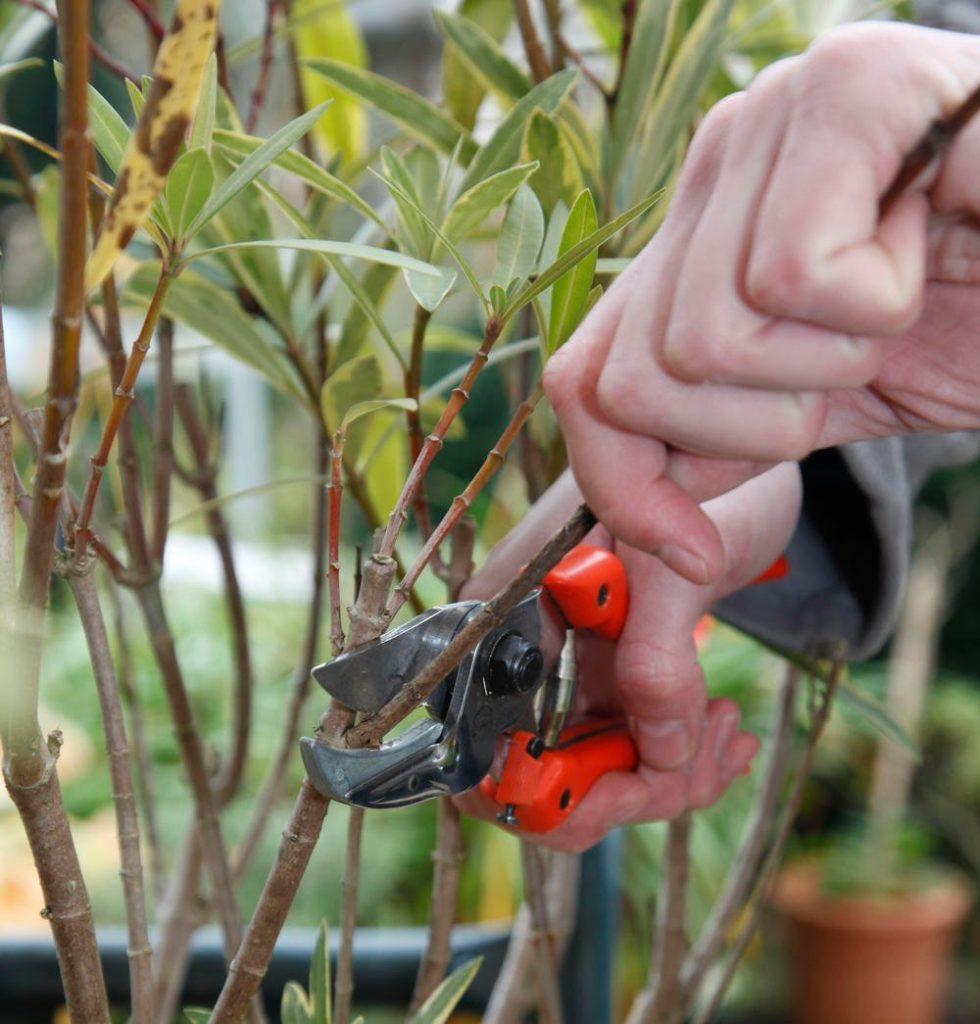 Oleander Cuting 980x1024, Best Garden, Home And DIY Tips