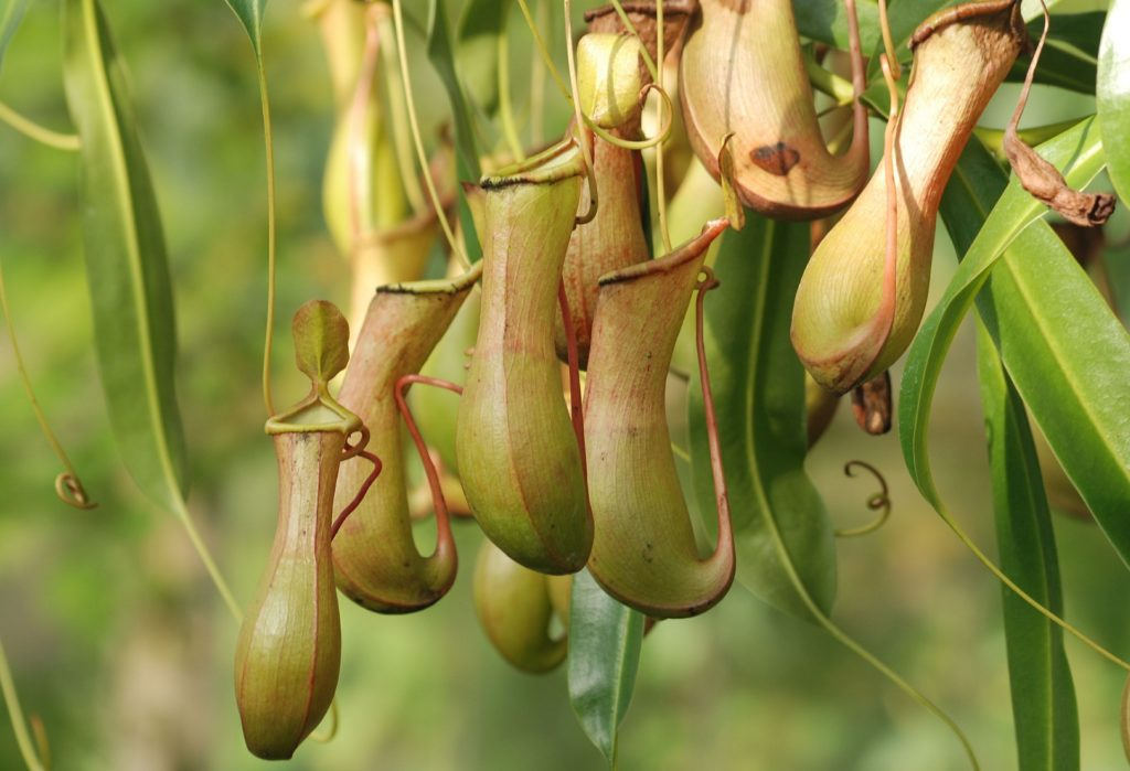 Pitcher Plant 362370 1920 1024x699, Best Garden, Home And DIY Tips