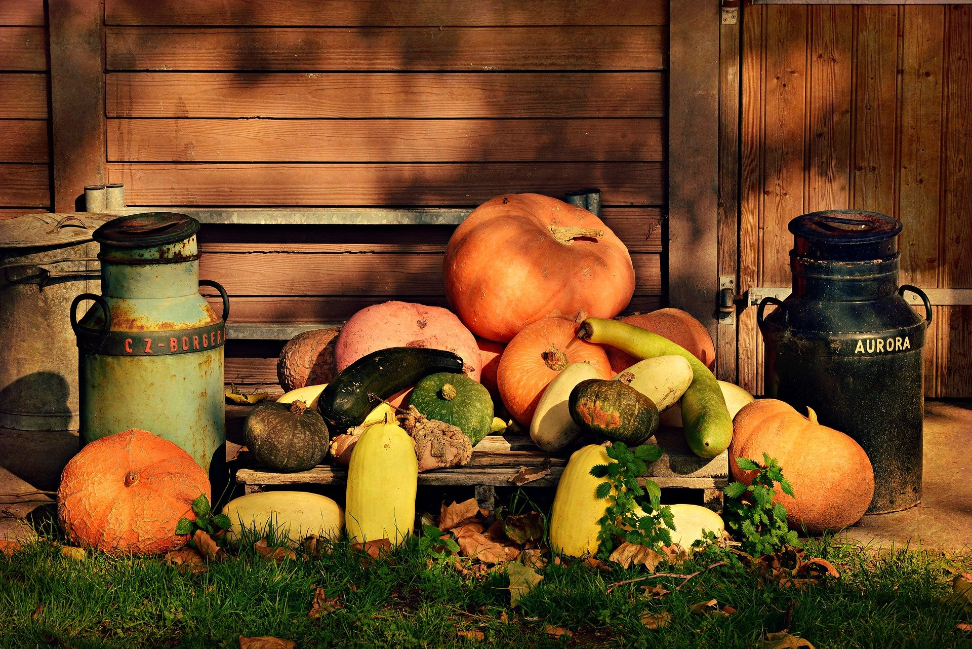 Read more about the article Pumpkin: planting, caring for and harvesting