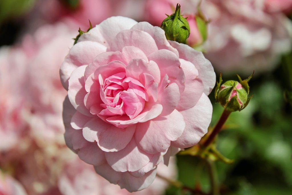 Rose 1610932 1920 1024x683, Best Garden, Home And DIY Tips