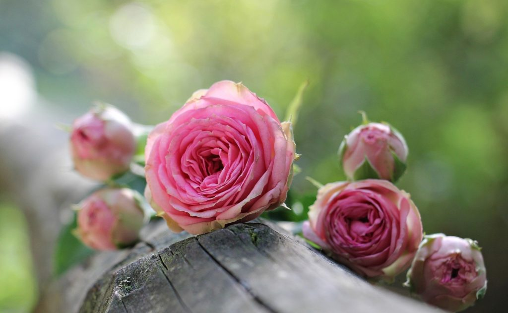 Rose 1687884 1920 1024x631, Best Garden, Home And DIY Tips