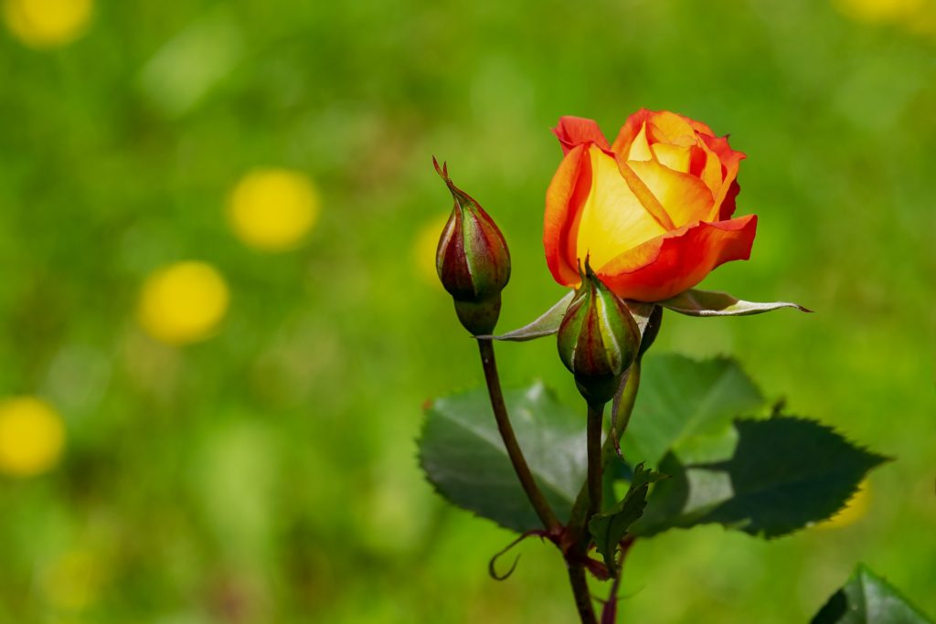 Rose 3431316 1920 1024x683, Best Garden, Home And DIY Tips