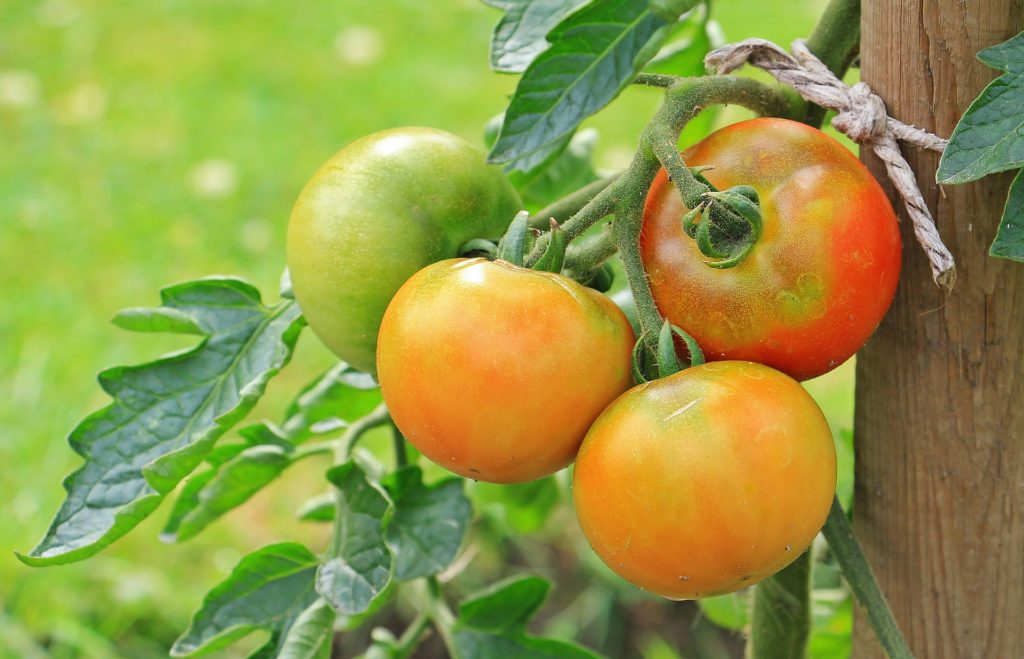 Tomatoes 1539503 1920 1024x659, Best Garden, Home And DIY Tips