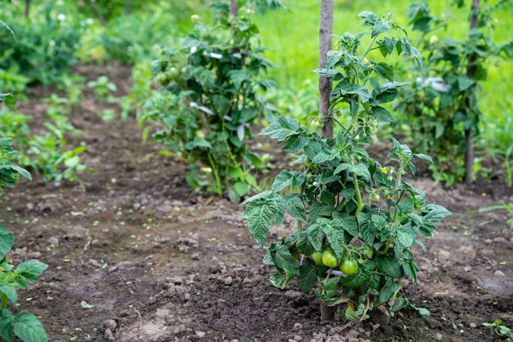 Tomatoes 2, Best Garden, Home And DIY Tips